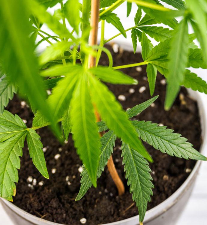 Cannabis Pflanze CBD